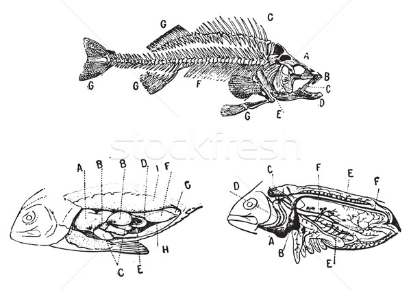 Skeleton, digestive and circulatory system of a fish, vintage en Stock photo © Morphart