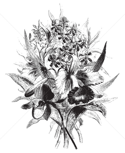 Orchids in the province of Antioquia, vintage engraving. Stock photo © Morphart