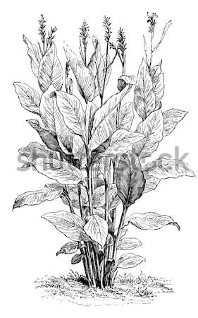 Bear's breeches or Acanthus mollis plant vintage engraving Stock photo © Morphart