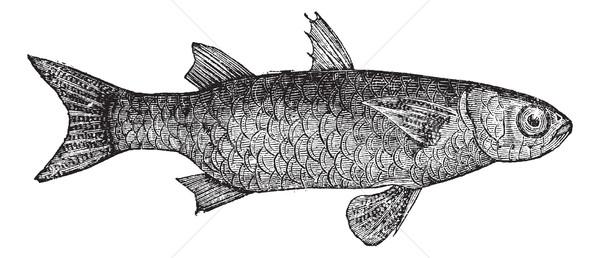 ストックフォト: 縞模様の · 魚 · ヴィンテージ · 刻ま · 実例 · 百科事典