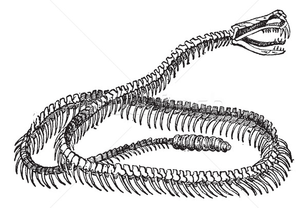 Reptile squelette vintage gravure gravé illustration Photo stock © Morphart