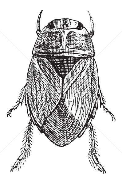 Creeping Water Bug or Naucoridae, vintage engraving Stock photo © Morphart