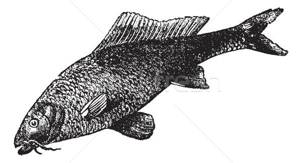 Sazan bağbozumu oyma tatlısu balık eski Stok fotoğraf © Morphart