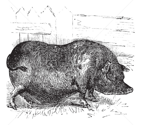 Heude's Pig or Indochinese Warty Pig or Vietnam Warty Pig or Sus Stock photo © Morphart