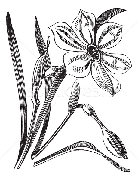 Poet's Daffodil or Narcissus poeticus, vintage engraved illustra Stock photo © Morphart
