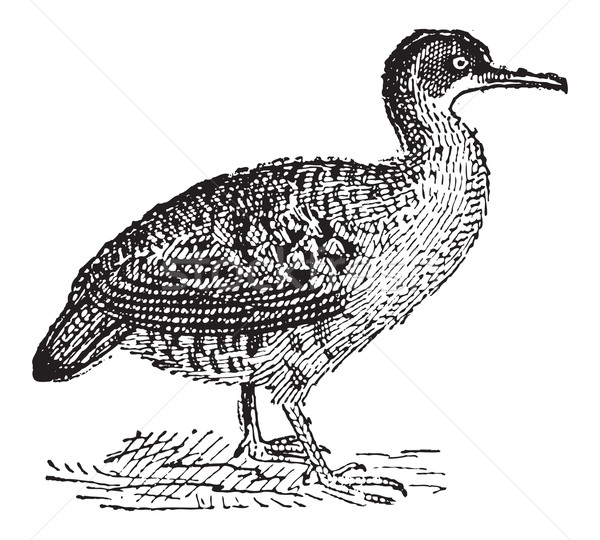 Great Tinamou or Tinamus major, vintage engraving Stock photo © Morphart