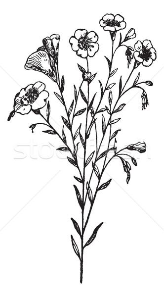 Flax or Linum usitatissimum, vintage engraving Stock photo © Morphart