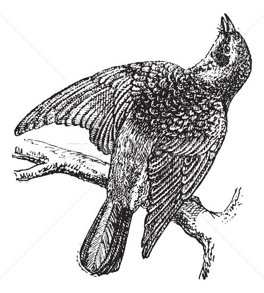 Fieldfare or Turdus pilaris, vintage engraving Stock photo © Morphart
