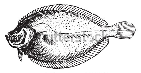 Fins, of Perch or Perca sp., vintage engraving Stock photo © Morphart
