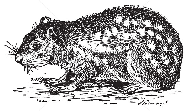 Paca or Cuniculus, vintage engraving. Stock photo © Morphart
