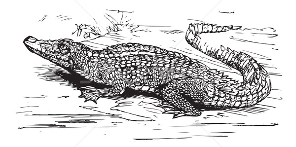 Saltwater crocodile engraved illustration Stock photo © Morphart