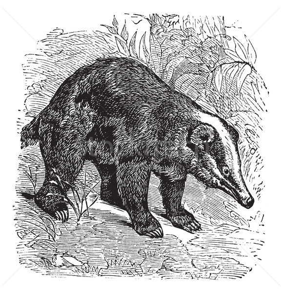 The Hog Badger or Arctonyx collaris. Vintage engraving. Stock photo © Morphart