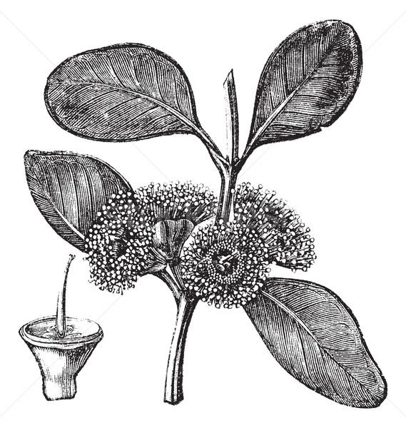 Bell-fruited Mallee or Eucalyptus preissiana, vintage engraving Stock photo © Morphart