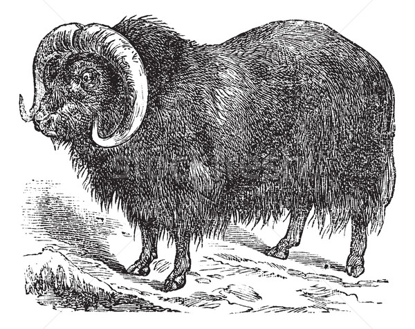 Muskox (Ovibos moschatus, musk ox), vintage engraving Stock photo © Morphart