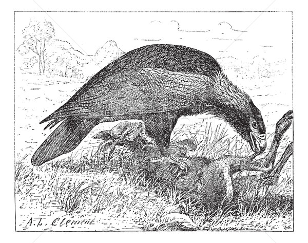 Wedge-tailed Eagle or Aquila audax, vintage engraving Stock photo © Morphart