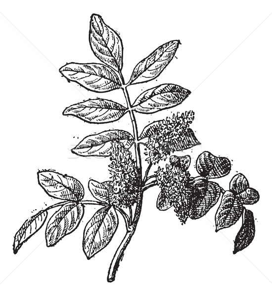 Mastic or Pistacia lentiscus, vintage engraving Stock photo © Morphart