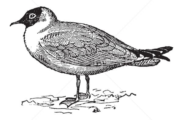 Laughing Gull or Leucophaeus atricilla, vintage engraving Stock photo © Morphart