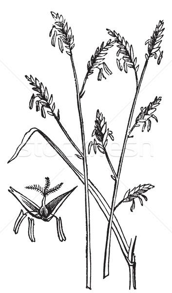 Arundinaria or Arundinaria macrosperma or commonly known as the  Stock photo © Morphart