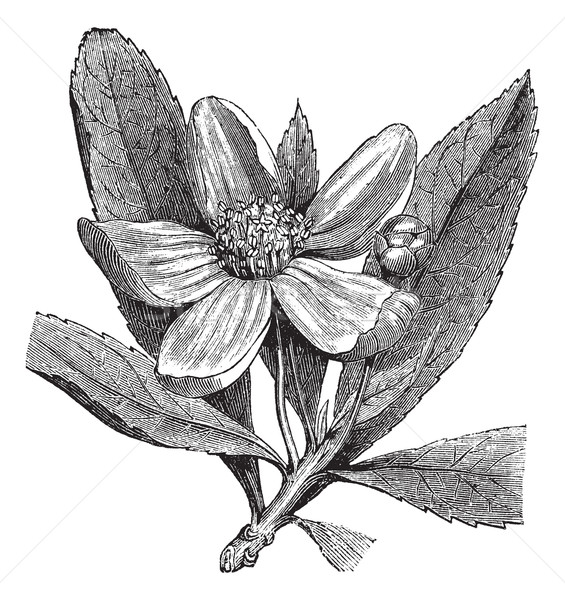 Franklinia or Gordonia pubescens vintage engraving Stock photo © Morphart