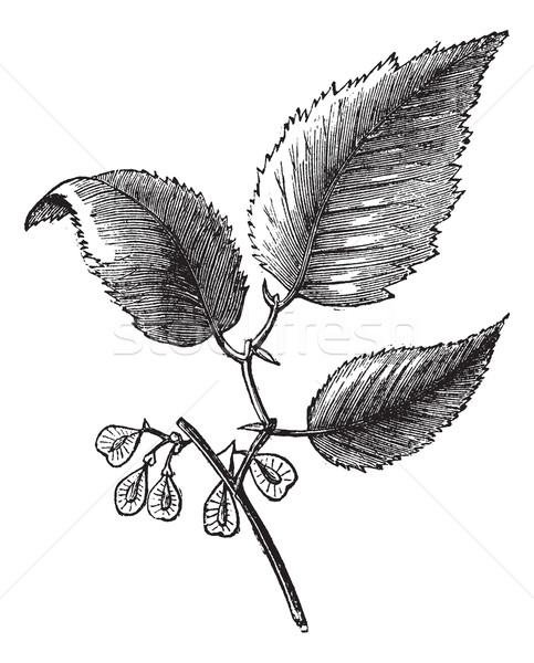 Slippery elm or Ulmus fulva, isolated on white, vintage engravin Stock photo © Morphart