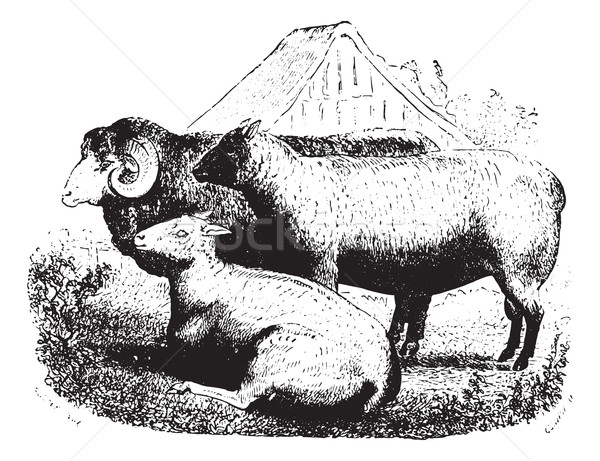 Three sheep on field, vintage engraving. Stock photo © Morphart
