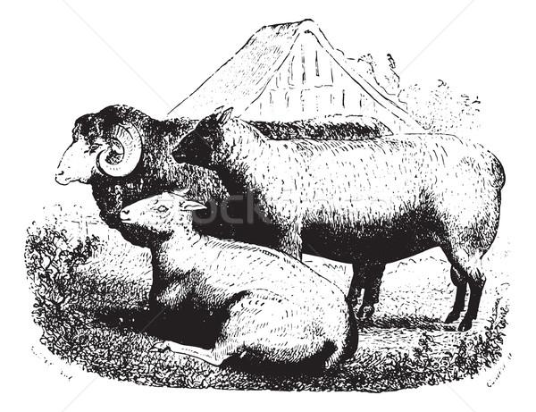 Stock photo: Three sheep on field, vintage engraving.
