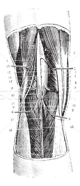 Popliteal region (left), vintage engraving. Stock photo © Morphart