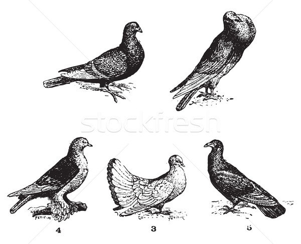 Stock photo: Pigeons, vintage engraving.