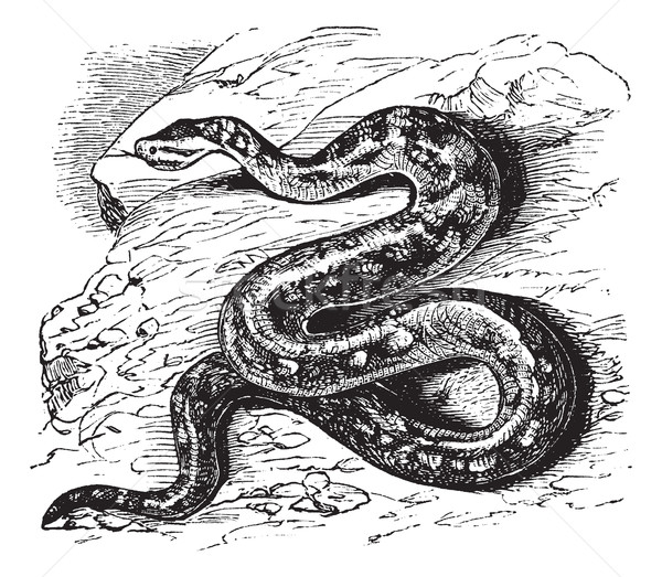 Natal rock python or Python sebae natalensis vintage engraving Stock photo © Morphart