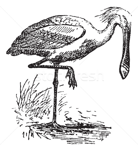 Spoonbill, vintage engraving. Stock photo © Morphart