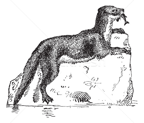 Eurasian Otter or Lutra lutra, vintage engraving Stock photo © Morphart