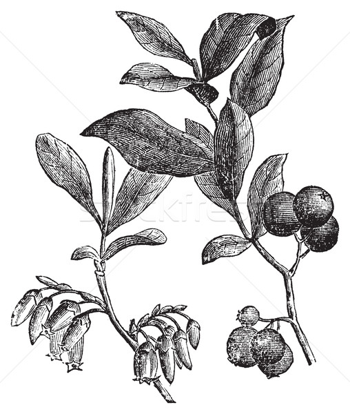 Huckleberry or Gaylussacia resinosa engraving Stock photo © Morphart