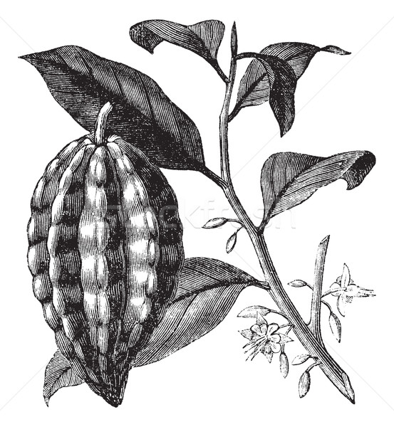 Cacao tree or Theobroma cacao, leaves, fruit, vintage engraving. Stock photo © Morphart
