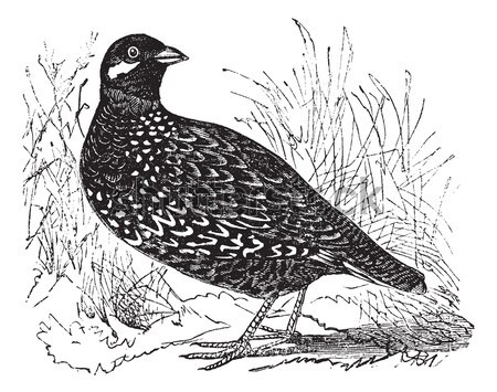 Merlin or Pigeon Hawk or Falco columbarius, vintage engraving Stock photo © Morphart