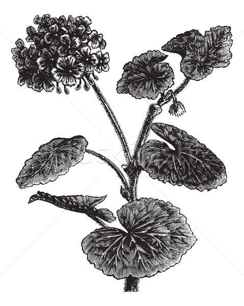Geranium or Storksbill or Pelargonium sp., vintage engraving Stock photo © Morphart