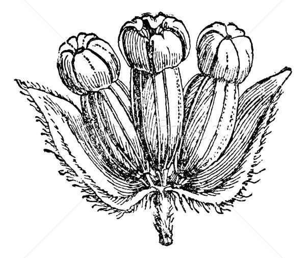 Hydrocotyle Asiatic (inflorescence) or Centella asiatica, vintag Stock photo © Morphart