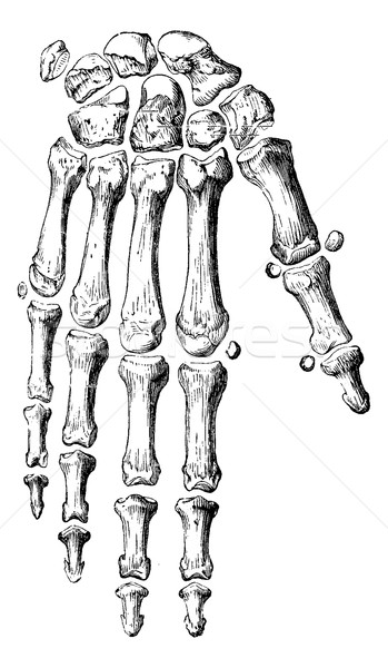 Skeleton of the hand and fingers, vintage engraving. Stock photo © Morphart