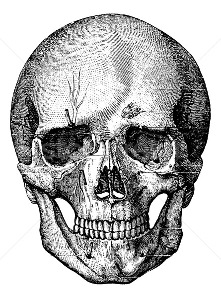 Bony skeleton of the face and the anterior part of the skull, vi Stock photo © Morphart