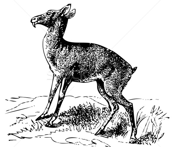 Old engraving of a Siberian musk deer or moschus moschiferus Stock photo © Morphart