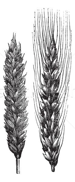 Winter wheat, wheat, vintage engraving. Stock photo © Morphart