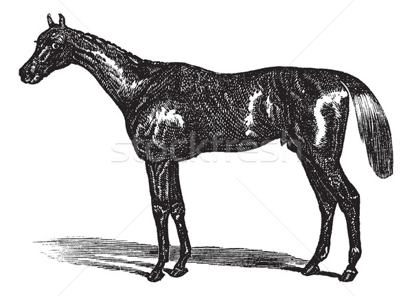 Thoroughbred vintage engraving Stock photo © Morphart