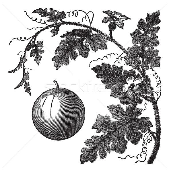 Keserű alma uborka szőlő klasszikus vésés Stock fotó © Morphart