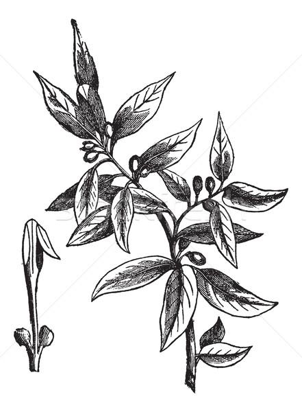 Folhas doce vintage árvore laurel Foto stock © Morphart