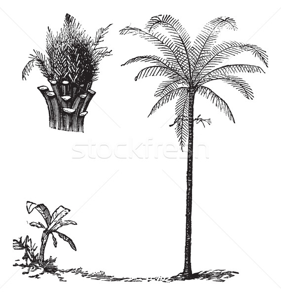 Royal Palm or Roystonea regia, vintage engraving Stock photo © Morphart