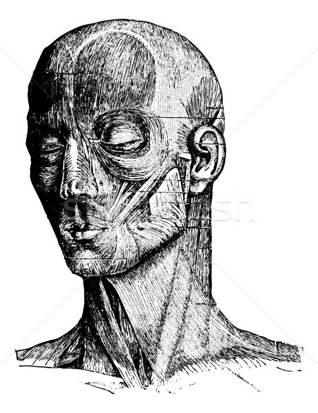 Muscles of the Human Face and Cheek, vintage engraving Stock photo © Morphart