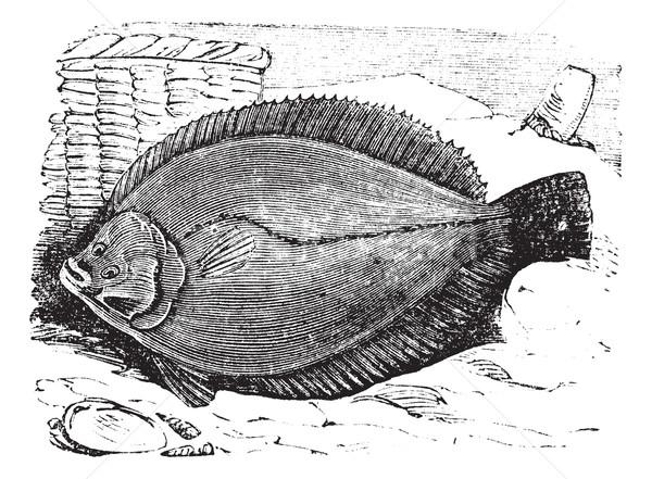 Plaice or Flounder frank vintage engraving Stock photo © Morphart