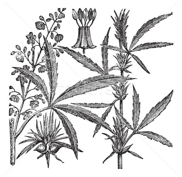 Klasszikus vésés cannabis öreg gravírozott illusztráció Stock fotó © Morphart