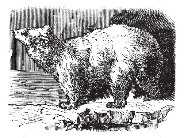Orso polare vintage inciso illustrazione enciclopedia Foto d'archivio © Morphart