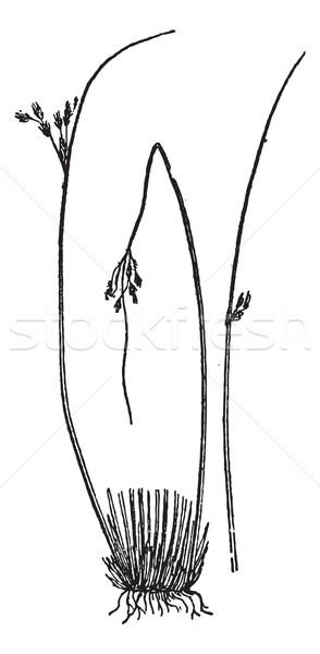 Glaucous bulrush (Juncus glaucus), vintage engraving. Stock photo © Morphart