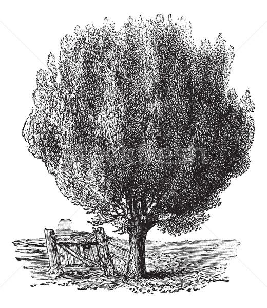 Boxwood or Buxus, tree, vintage engraving. Stock photo © Morphart